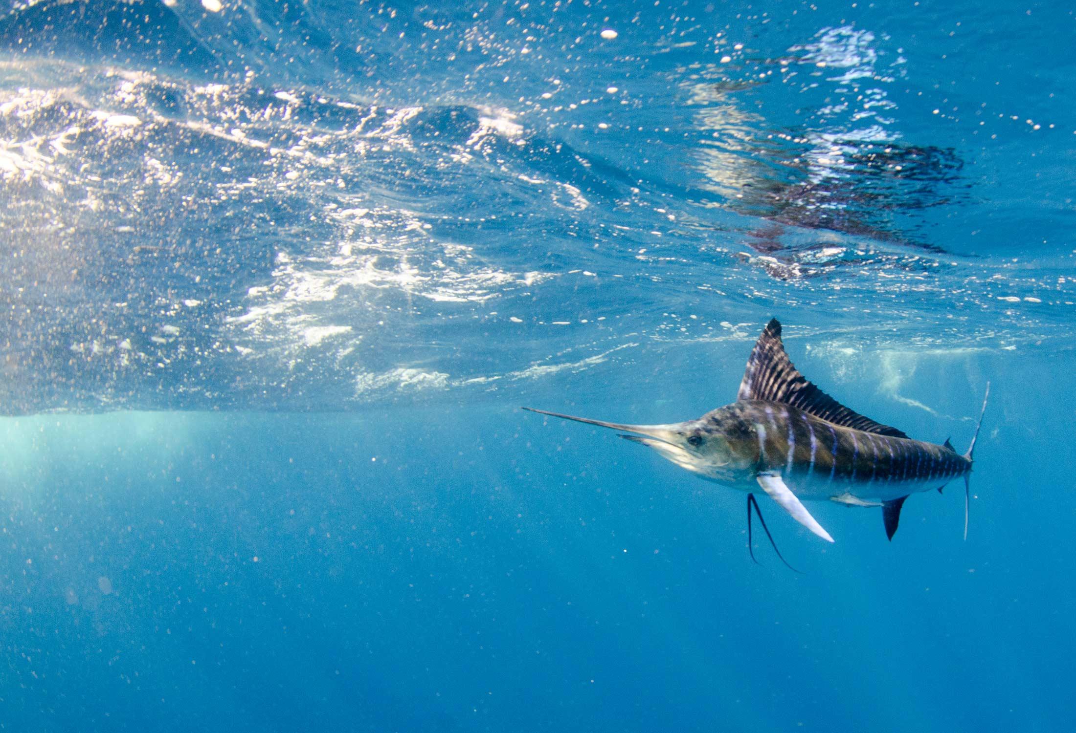 marlin fishing in the bahamas